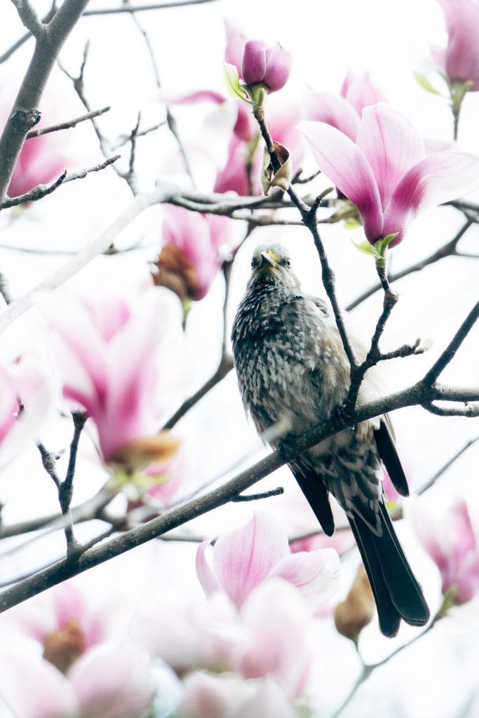 木蓮の花とヒヨドリ
