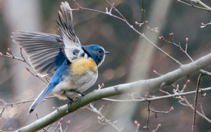 枝の上で羽ばたきをする薬師池公園のルリビタキ