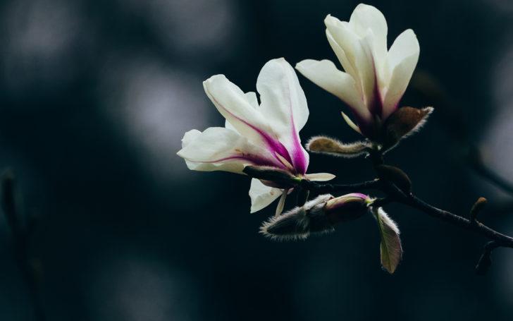 薬師池公園に咲く木蓮の花