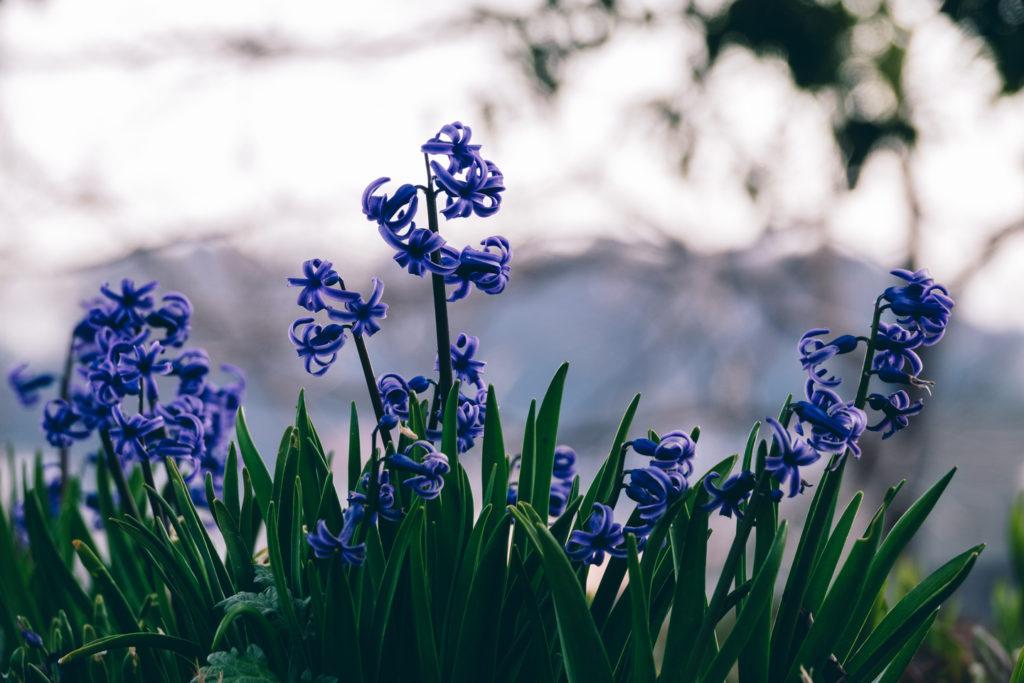 道端に咲くヒヤシンス