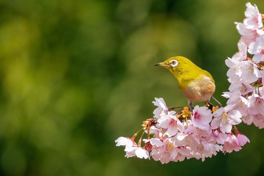 薬師池公園の熱海寒桜とメジロ