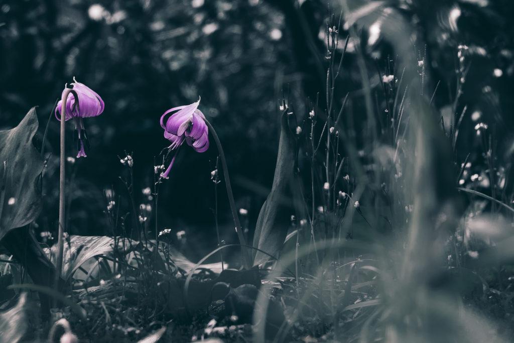 萬葉草花苑に咲いたカタクリの花