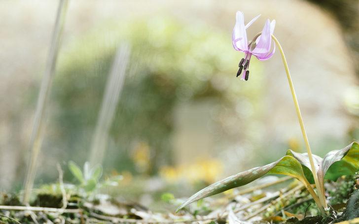 萬葉草花苑に咲くカタクリ