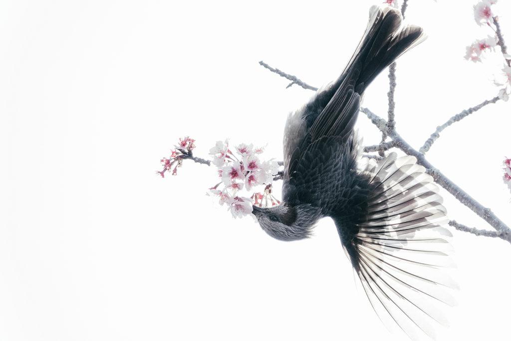 熱海寒桜の枝で羽を広げるヒヨドリ