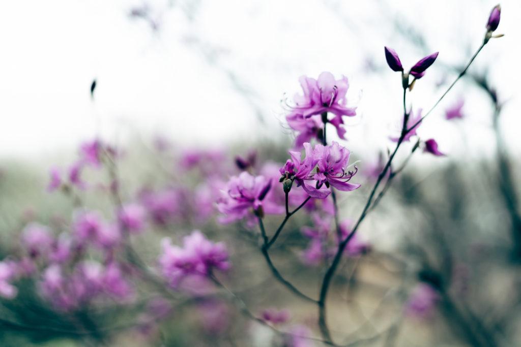 萬葉草花苑のミツバツツジ