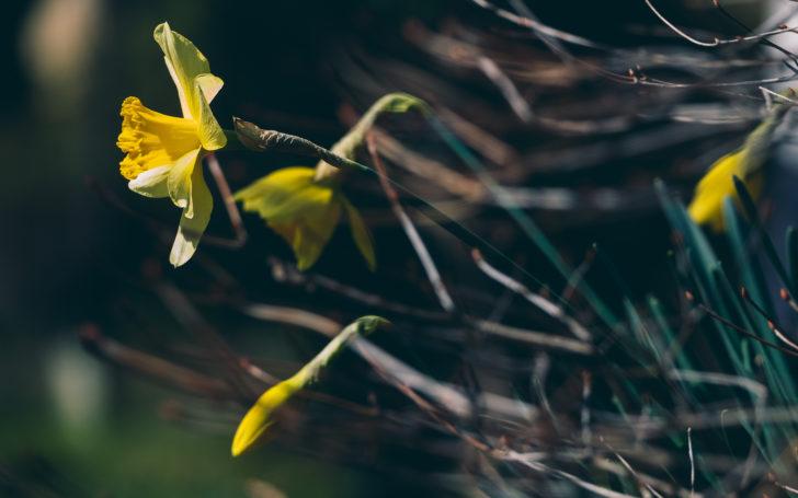 萬葉草花苑に咲くスイセン