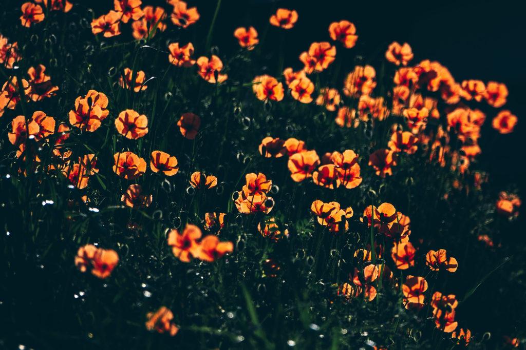 鶴見川の遊歩道沿いに咲くポピー
