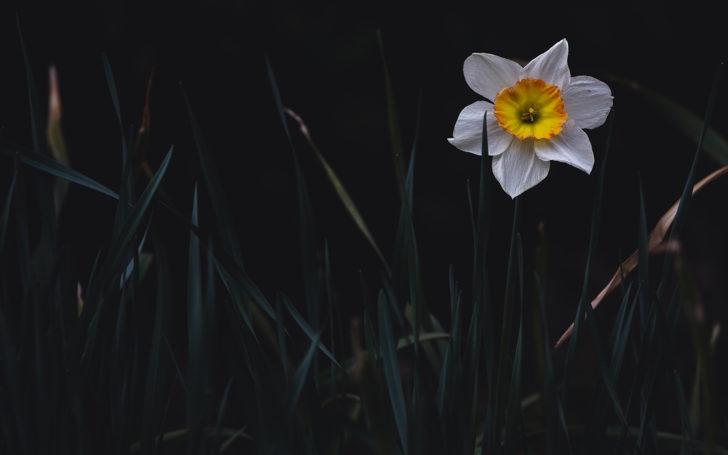 薬師池公園に咲く水仙