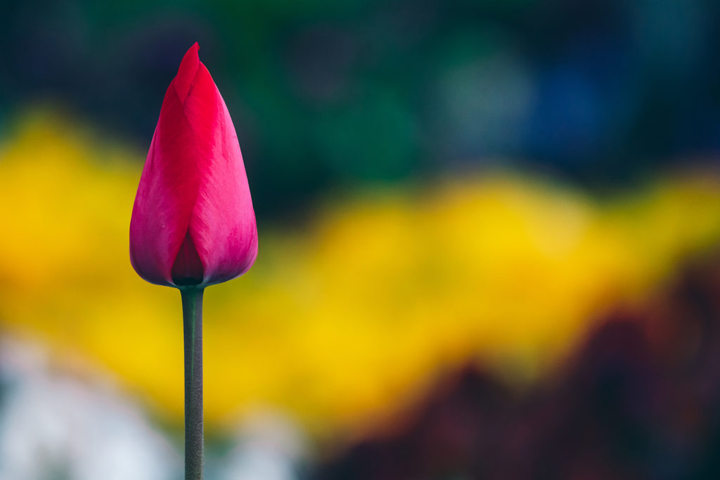 薬師池公園の花壇のチューリップ