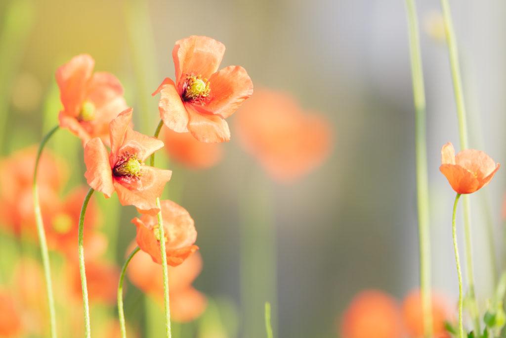 鶴見川沿いに咲くポピー(ヒナゲシ)