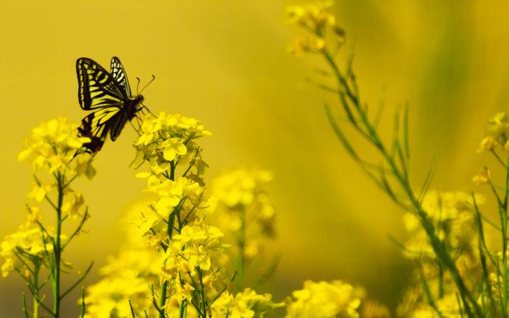 菜の花とアゲハ蝶