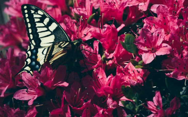 ツツジとアゲハ蝶