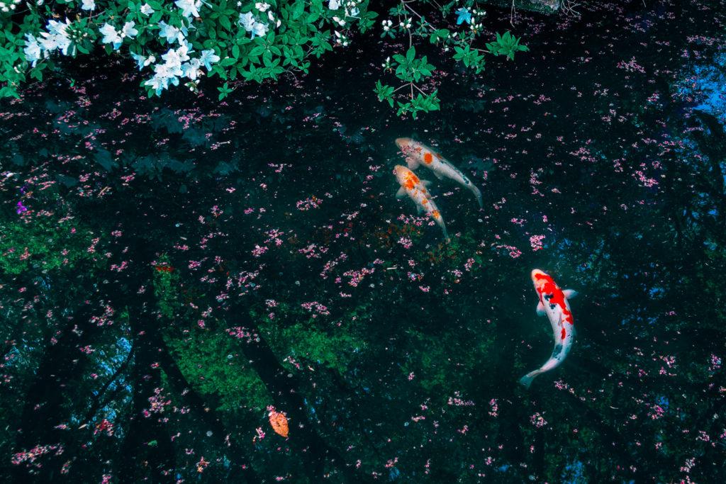 薬師池公園の錦鯉