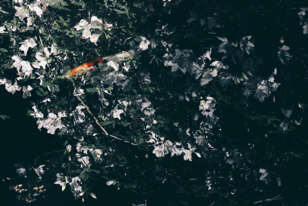 白ツツジの映り込む池と錦鯉