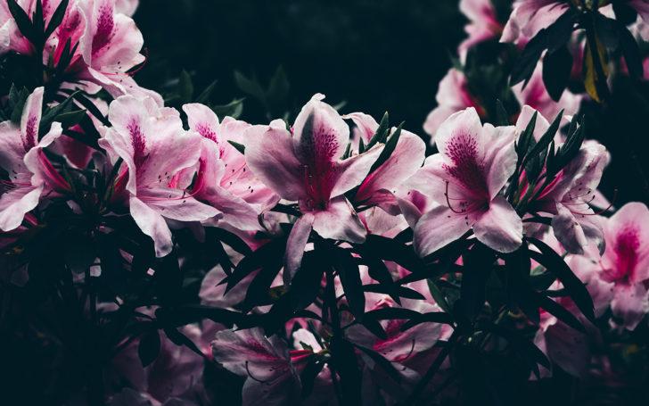 萬葉草花苑のツツジ