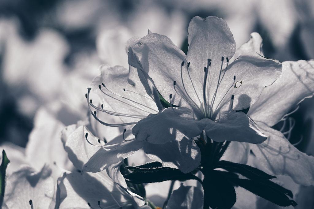 日光を浴びる薬師池公園の白ツツジ