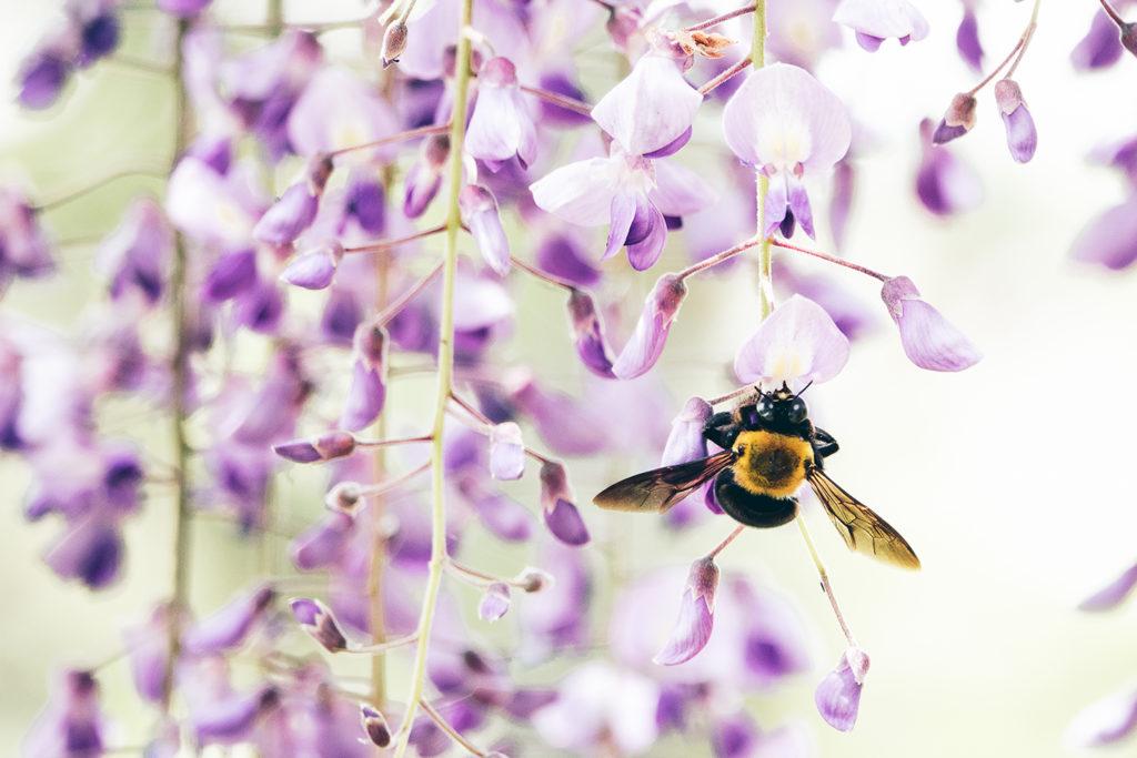 藤の花にしがみつくクマバチ