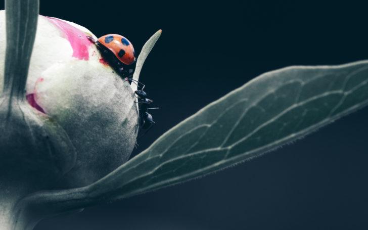 芍薬のつぼみの上で対峙するテントウムシとアリ
